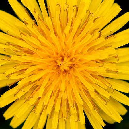 A close-up of a bright yellow dandelion like flower. Stock Photo