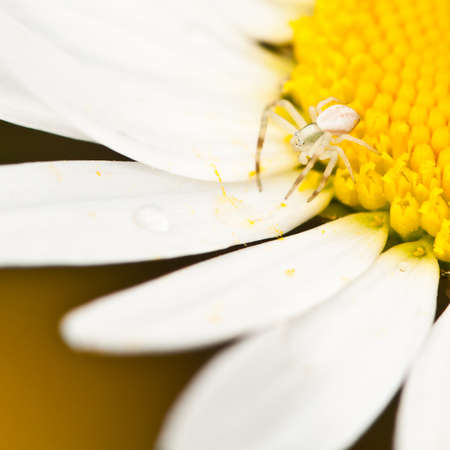 A crab spider crosses from yellow to white. photo