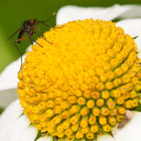 A small dance fly sits atop an ox eye daisy. Stock Photo - 10492094