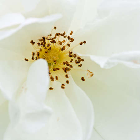 The white purity of a wild rose.