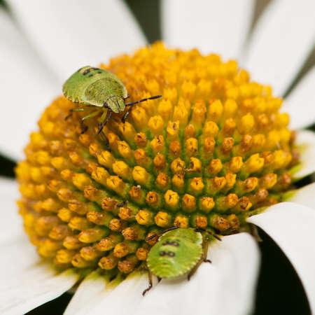 ox eye: A pair of shield bugs populate an ox eye daisy.
