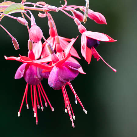 fuchsias: A collection of red fuchsias.