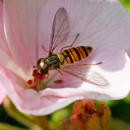 A hoverfly collects pollen from the centre of a genanium. Stock Photo - 10492099