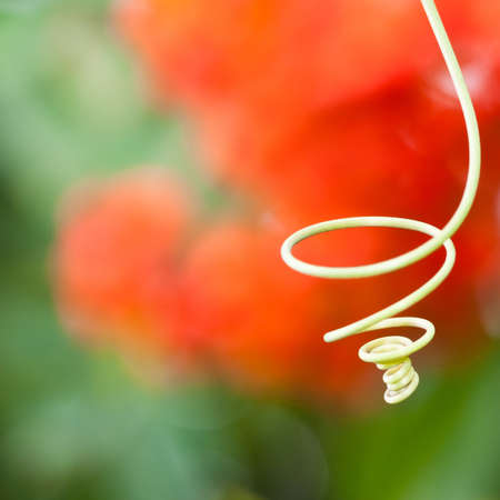 A passion flower tendril coils around in front of some colourful bokeh.