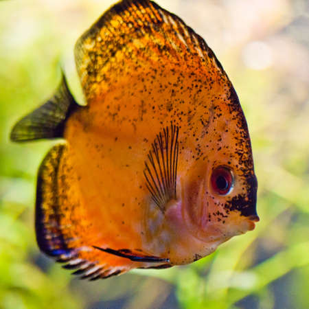 A freshwater discus fish swims to the aquarium glass. Stock Photo