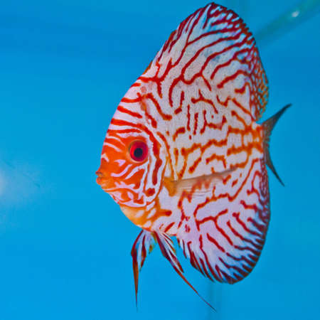 A freshwater discus fish floating around the blue light of the aquarium. photo