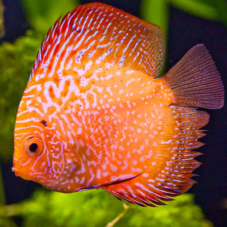 A freshwater discus fish manoeuvres about the aquarium.