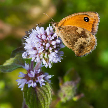 A gatekeeper butterfly sits on a water mint flower. Stock Photo