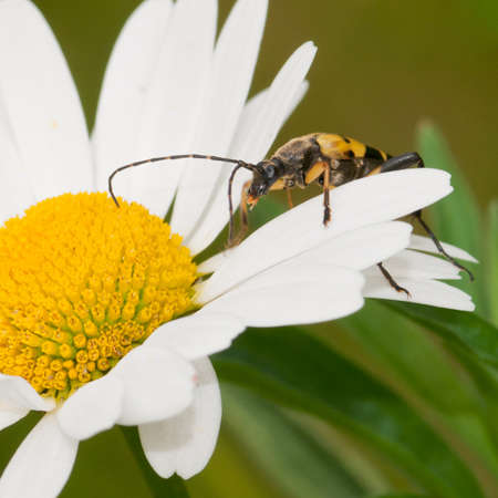 longhorn beetle: A longhorn beetle scales the petals of an ox eye daisy. Stock Photo