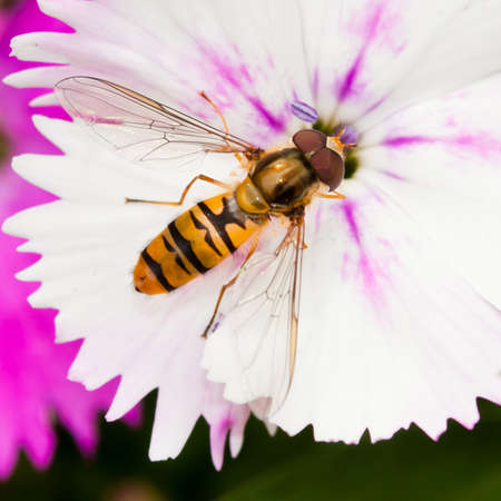 A colourful hoverfly sits atop a white dianthus bloom. Stock Photo - 10516017