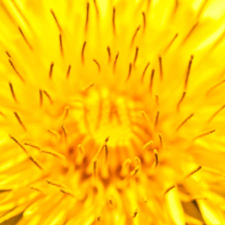 A close-up of the centre of a yeallow dandelion. Stock Photo