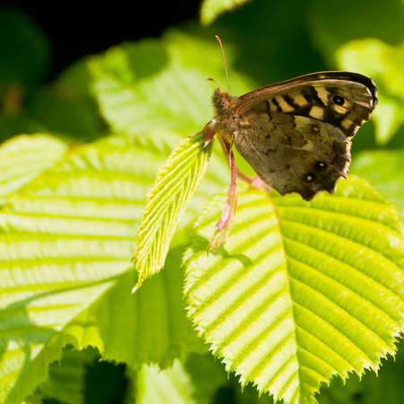 speckled wood: A speckled wood butterfly, sitting on a green leaf. Stock Photo
