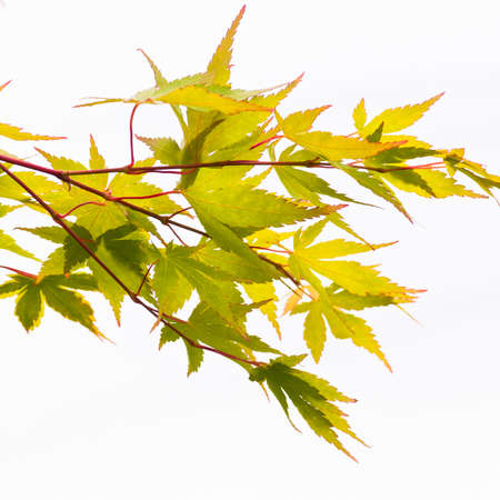 The green leaves of an acer tree, shot against a white background.