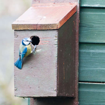 A blue tit inspects its new property. photo