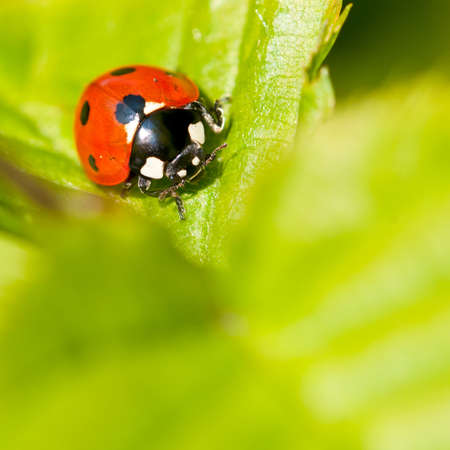 A seven spotted ladybird sits on a leaf, facing the camera. Stock Photo