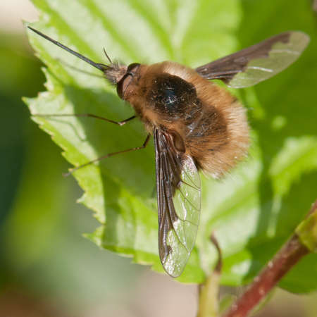 A Bee Fly (Bombylius Major) rests on a green leaf. Stock Photo - 10527490