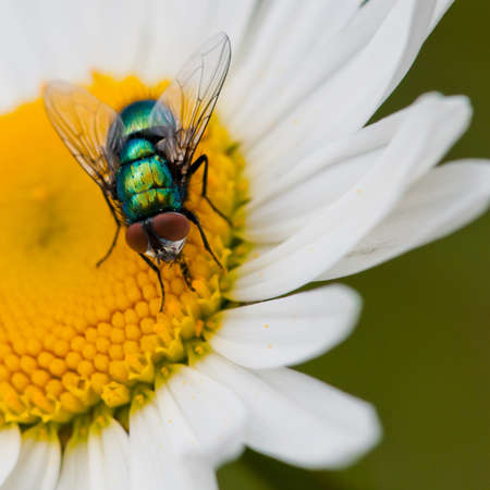 A greenbottle fly feeds from an ox eye daisy. Stock Photo - 10572228