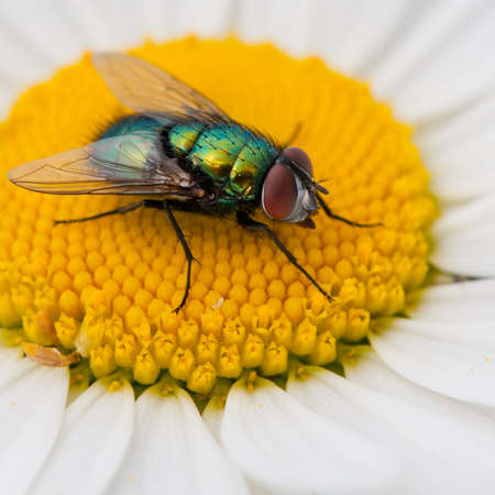 A greenbottle glows in the sun while sitting on an ox eye daisy. photo