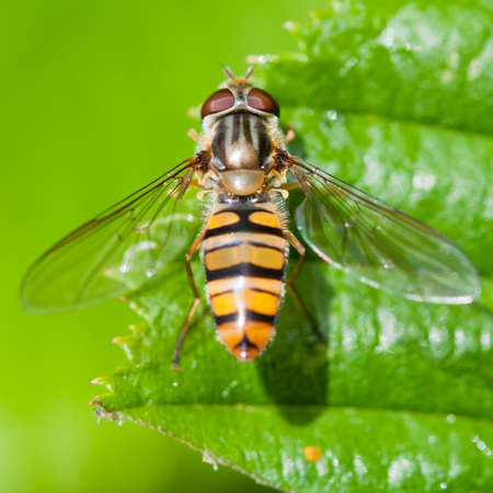 A hoverfly sits in the sunshine on a green leaf. Stock Photo - 10572215