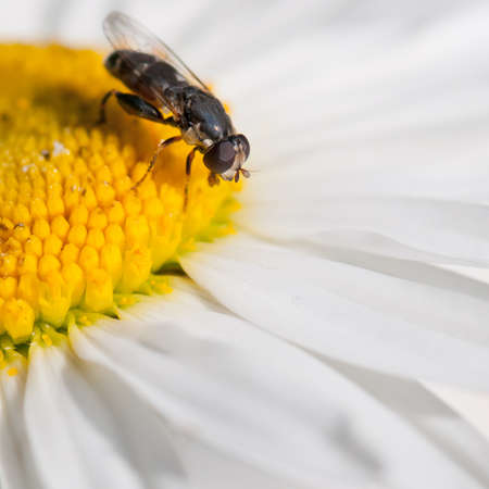 ox eye: A bee sits within the centre of an ox eye daisy.
