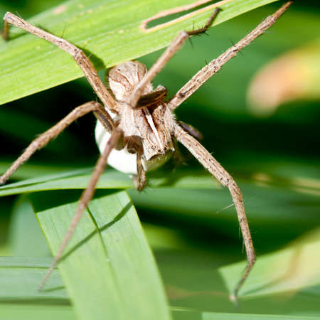 nursery web spider: A nursery web spider carries an egg sac through the crocosmia leaves. Stock Photo