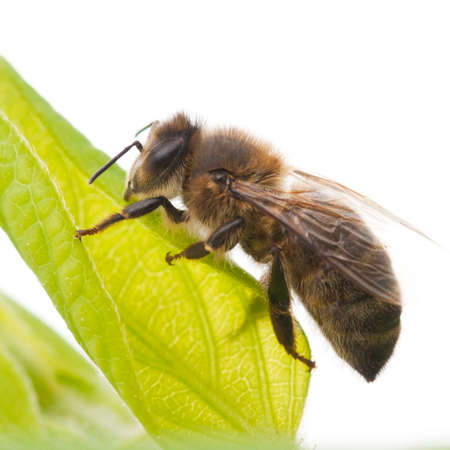 A bee climbs up a green leaf. Stock Photo