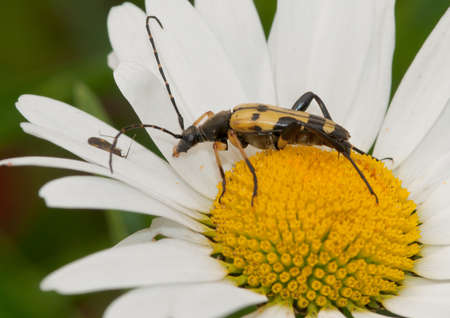 longhorn beetle: A longhorn beetle meets up with a smaller friend!