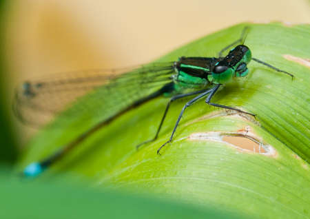 A blue tailed damselfly sits on a green leaf. photo