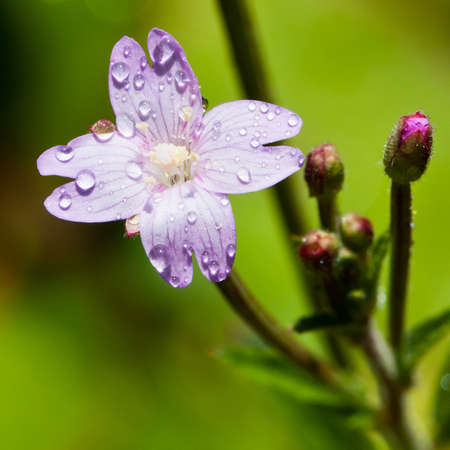 Raindrops sitting on the surface of a pretty petal. Stock Photo - 10580140