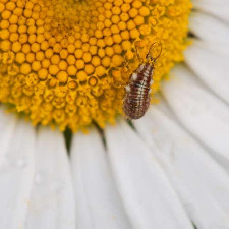 chrysope: Un larves de chrysopes collecter pollen Marguerite blanche un boeuf.