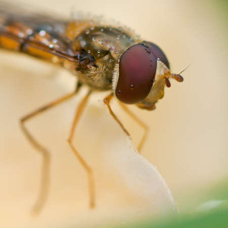 A close-up of a wet hoverfly eye. Stock Photo - 10598368