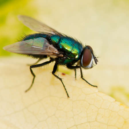 A hairy backed greenbottle fly sits on a yellowing leaf. Stock Photo - 10598344