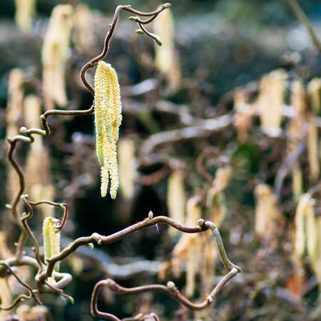 hazel branches: A collection of hazelwood catkins glow in the morning sinshine. Stock Photo