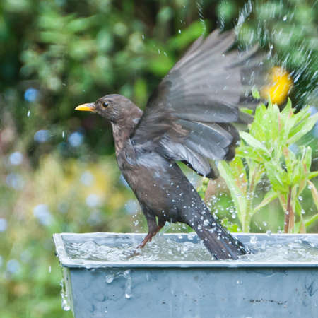 A blackbird splashes about at bathtime! Stock Photo