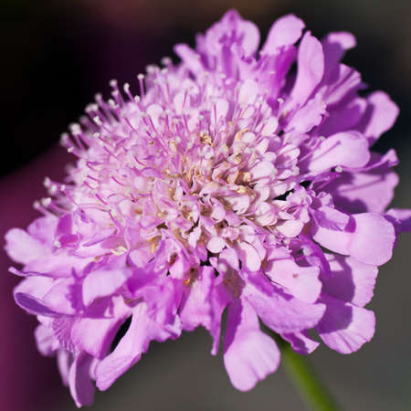 A macro shot of a scabious flower called Pink Mist.