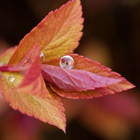 A single raindrop balances on a leaf of a spirea bush.