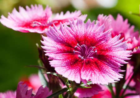 A collection of dianthus blooms soak up the sunshine.