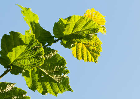 The green leaves of a hazelwood tree against a blue sky.