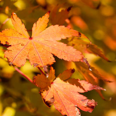 The golden brown leaves of a Japanese maple tree. photo