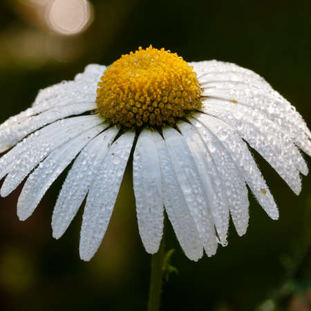 Petals of an ox eye daisy covered in dewdrops...