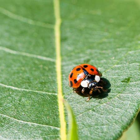 bay leaf: A ladybird sits on a green bay leaf.
