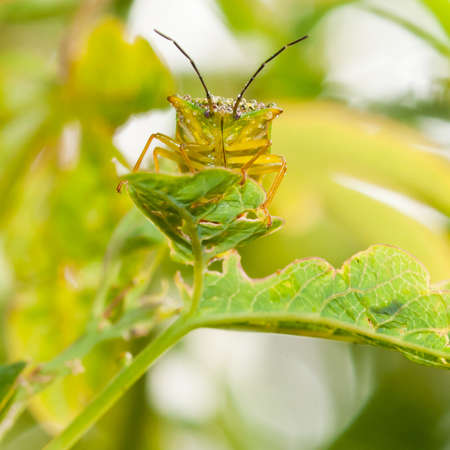 green shield bug: A close-up of a green shield bug sat on a passion flower leaf.