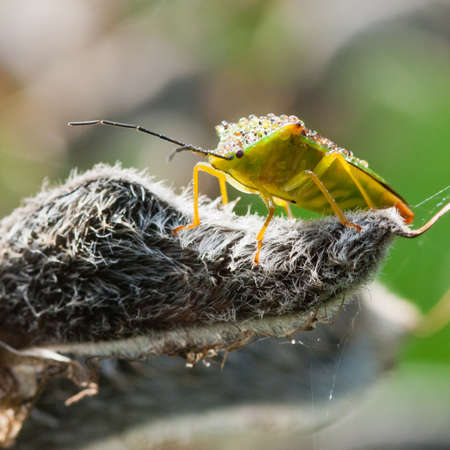 green shield bug: A close-up of a green shield bug sat on a lupin seed pod.