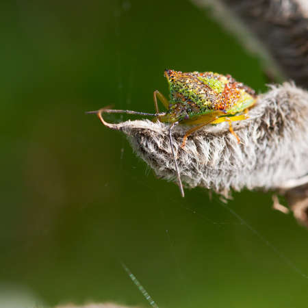 green shield bug: A close-up of a wet green shield bug sat on a lupin seed pod.