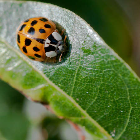A ladybird sits on a green bay tree leaf.