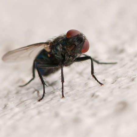 quizzical: Un disparo de cerca de una mosca dando una mirada burlona!