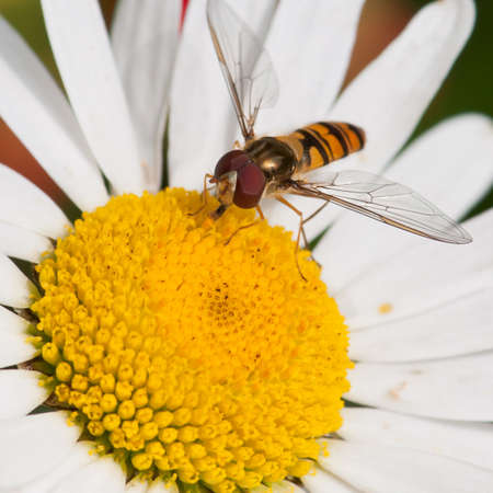 A hoverfly feasts on pollen from an ox eye daisy.