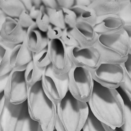An abstract close-up of the patterns of a chrysanthemum bloom.