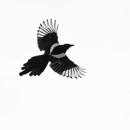 A magpie flies from left to right across the frame.