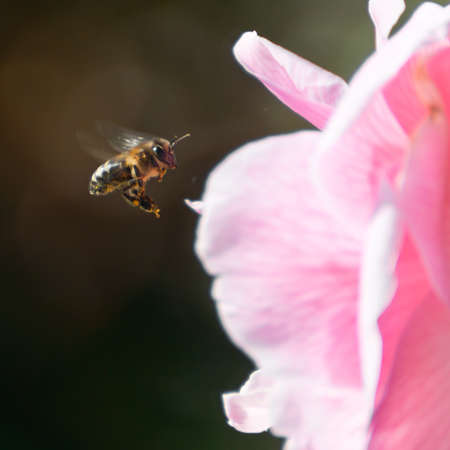 A bee flies towards a camellia flower to collect some pollen.